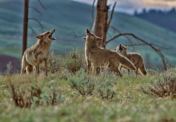 Coyote crew